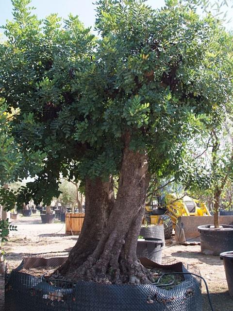 Jardin partagé St Roch arbre